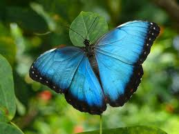 Blue butterfly on leafy background